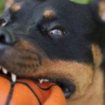 Rottweiler bites ball